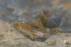 Nesting Time! (Amy Hudechek Photography) Tags: american dipper nesting material moss water nature wildlife colorado amyhudechek rushing stream