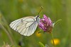 Aporia crataegi (Linnaeus, 1758) (Jesús Tizón Taracido) Tags: insecta lepidoptera papilionoidea pieridae pierinae anthocharini aporiacrataegi