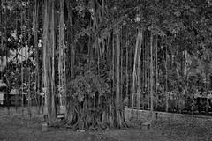 "INDONESIEN, Java,  Alter Ficus-Baum am Tempel Candi Mendut, 17273/9788 (roba66) Tags: reisen travel explorevoyages urlaub visit roba66 asien südostasien asia eartasia ""southeastasia"" indonesien indonesia ""republikindonesien"" ""republicofindonesia"" indonesiearchipelago inselstaat java ficus nature natur naturalezza baum bäume tree trees arbes arboles alberi blackwhite bw sw branco negro blackandwhite blancoenero blancoynegro monochrome byn bretoebranco einfarbig schwarzweis"