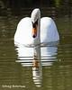 Mute Swan (DougRobertson) Tags: swan muteswan nature ninesprings yeovil somerset wildlife water bird birdwatcher