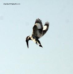 IMG_0986 Pied Kingfisher (Ceryle rudis) (vlupadya) Tags: greatnature birds animal aves fauna indianbirds pied kingfisher ceryle malyadi karnataka