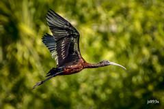 Glossy Ibis (jt893x) Tags: 150600mm bif bird d500 glossyibis ibis jt893x nikon nikond500 plegadisfalcinellus sigma sigma150600mmf563dgoshsms wadingbird thesunshinegroup coth sunrays5 coth5