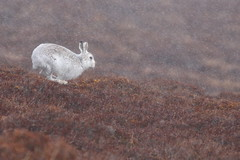 Mountain hare caught in snow shower (blootoonloon1( No to Badger Cull)) Tags: snow spring scotland highlands nature wildlife animal cairngorms hare movement heather colours