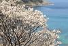 Seaside sakura (Teruhide Tomori) Tags: sakura cherry nature landscape tango tangopeninsula kyoto seaside shore sea japon japan blossom bloom tree flower spring kyotango 日本 海 海岸 京丹後 丹後半島 桜 春 花 自然 風景 京都