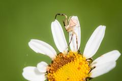 Thomisus onustus (giansacca) Tags: aracnide araneae spider ragno ragnogranchio crabspider thomisidae thomisusonustus fiori flowers fleurs wildflowers