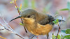 eastern spinebill (Acanthorhynchus tenuirostris)-6721 (rawshorty) Tags: rawshorty birds canberra australia act symonston