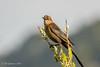 Great-tailed Grackle (f) (Bob Gunderson) Tags: birds california concretebridge greattailedgrackle icterids lakemerced northerncalifornia quiscalusmexicanus sanfrancisco