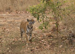 Bengal Tiger - Panthera tigris