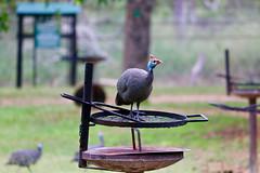 Helmeted Guinea Fowl (Abspires40) Tags: krugerpark krugernationalpark kruger krugerbirds wildlife gameparks africa africanwildlife bird guineafowl africanbirds birds birdsofsouthernafrica helmetedguineafowl gamebirds