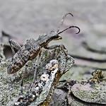 Cerambycidae-Rhagium inquisitor  Schrotbock thumbnail