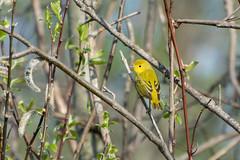 Spring Birds! (hmthelords) Tags: yellowwarbler