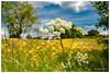 Fleurs des champs (Pascale_seg) Tags: landscape paysage terre earth nature country countryscape champ champêtre campagne printemps spring fleurs flowers jaune yellow renoncules ciel sky clouds nuages moselle lorraine grandest france nikon arbre tree