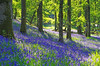 Kinclaven Woods (eric robb niven) Tags: ericrobbniven scotland kinclaven woods bluebells cycling perthshire