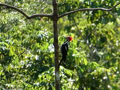 Crimson-crested Woddpecker (misiekmintus) Tags: woodpecker campephilusmelanoleucos ecuador amazonia