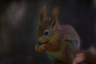 Red-squirrel_2497