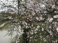 IMG_1291 (richardclarkephotos) Tags: kennet avon bradford wiltshire somerset uk © richard clarke photos narrow boats ducks trees smoke pub cross guns puddles tow path