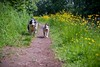 Long Tongues (Chris Willis 10) Tags: starpuppywalktptcanal dog pets animal outdoors purebreddog nature grass canine cute summer friendship puppy mammal domesticanimals greencolor running younganimal fun playing meadow buttercups canal