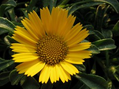 Yellow (Hannelore_B) Tags: blume flower gelb yellow allnatural macromondays macro aster macromademoiselle