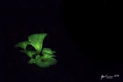 Flourescent Fungi (R. Francis) Tags: flourescent flourescentfungi bielsdownriver dangarfalls ryanfrancis ryanfrancisphotography dorrigo dorrigonationalpark nsw newsouthwales nswnorthcoast ghostfungus omphalotusnidiformis omphalotus marasmiaceae arfp nswrfp qrfp subtropicalarf wetsclerophyllaf arffungi greenarffungi