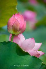 _J5K2598.0610.Gia Vân.Gia Viễn.Ninh BÌnh (hoanglongphoto) Tags: asia asian vietnam northvietnam flower lotus nature natureinvietnam canon canoneos1dsmarkiii ninhbình giaviễn giavân thiênnhiên hoa hoasen hoasenhồng pinklotus canonef100400mmf4556lisusm blossom lotusblossom closeup cậncảnh