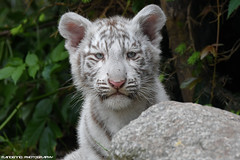 Bengal White Tiger Cub - Zoo Amneville (Mandenno photography) Tags: animal animals bigcat big cat cub zoo france frankrijk bengal white tiger tijger tigers tigercub whitetiger amneville zooamneville