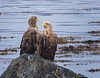 This old couple... (Bente Nordhagen) Tags: havørn snø vinter eagles
