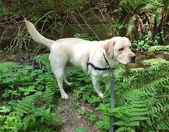 Gracie beside the creek (walneylad) Tags: gracie dog canine pet puppy cute lab labrador labradorretriever may spring morning westlynn
