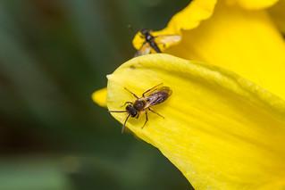 Early Mining Bee (Andrena haemorrhoa) - male