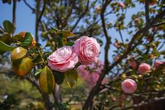 2018 Camellia (shinichiro*) Tags: 20180328sdim1748 2018 crazyshin sigmasdquattroh sdqh sigma1770mmf284dcmacrohsm march spring 浜離宮 tokyo japan jp flower camellia 乙女椿