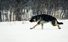 On The Run (Katherine Ridgley) Tags: toronto winter snow weather cold dog dogpark workingdog torontodog domesticdog purebred purebreed purebreddog canislupusfamiliaris canislupus canisfamiliaris canis canidae carnivore carnivora mammal mammalia animal animalia pet run running germanshepherddog germanshepherd gsd deutscherschaferhund deutscherschäferhund schäferhund schaferhund alsatian alsatianwolfdog dsh action forest tree wood trees woods