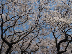 Trunks, Blossoms and Blue sky (murozo) Tags: trunk blossom cherry tree sky hanadate park yurihonjo akita japan spring 幹 木 桜 花 春 浜館公園 由利本荘 秋田 日本