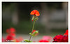 SHF_6274_Flower (Tuan Râu) Tags: 1dmarkiii 14mm 100mm 135mm 1d 1dx 2470mm 2018 50mm 70200mm canon canon1d canoneos1dmarkiii canoneos1dx flowers hoa hanoi dof bokeh tuanrau tuan tuấnrâu2018 râu httpswwwfacebookcomrautuan71