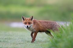 Foxy (Susanne Leyh) Tags: fox redfox fuchs wildlife mammal animal dusk nature natur tier rotfuchs britishwildlife evening vulpesvulpes