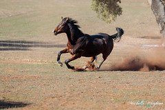 Thoroughbred Horse (Michelle Wrighton Photography) Tags: horse thoroughbred galloping running equine australia canon 5div 5d4 70200mm 28l