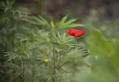 Papavero (walter.fangio) Tags: fiori papavero poppy rosso nature flora flowers verde garda arco