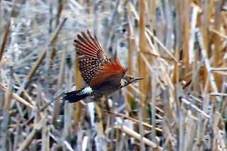 239. Red-shafted Flicker, in flight