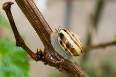 After the rain (bertrandwaridel) Tags: 2018 echallens may spring switzerland vaud garden rain snail vine suisse