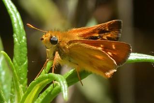 Rural Skipper (Ochlodes agricola) butterfly