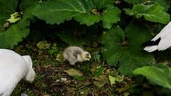Tiny gosling between its parents (PChamaeleoMH) Tags: birds centrallondon london stjamesspark