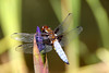 Male Broad Bodied Libellula Dragonfly on Iris, libellula depressa, Doddington Place near Faversham, Kent (Jim_Higham) Tags: kent england uk historic home house park garden stately estate pale blue
