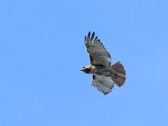 Madeleine Soars - 0223 (rbs10025) Tags: redtailedhawk buteojamaicensis morningsideheights morningsidepark cathedralofstjohnthedivine bird manhattan nyc