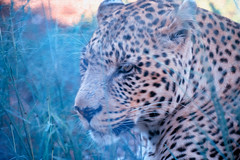Rescued Leopards (zenseas) Tags: africa bigcatrescue workingholiday bornfree bornfreesanctuary vacation holiday male southafrica africanleopard workingvacation drinking httpswwwshamwaricomactivitiesbornfreebigcatsanctuarie shamwari pantheraparduspardus rescued leopard httpswwwshamwaricomactivitiesbornfreebigcatsanctuaries