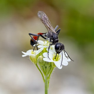 Ammophila terminata mocsaryi F