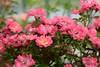 HFF || ROZEN IN DE VOORTUIN || ROSES IN THE FRONT YARD (Anne-Miek Bibbe) Tags: hff happyfencefriday tuinhek jardimportão gartentor gardengate portaildejardin puertadejardín tuin garden jardin giardino jardim natuur nature rozen roses rosas rosen rose roze pink rosa canoneos700d canoneosrebelt5idslr annemiekbibbe bibbe nederland 2018