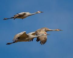 Sandhill crane (corkemup52) Tags: crane sandhillcranes birds nebraska nature nikond7000 200500 outdoors wildlife