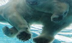 Bear Paws (peterkelly) Tags: digital northamerica canon 6d detroit detroitzoo michigan unitedstatesofamerica unitedstates usa us captive polarbear swimming water underwater blue