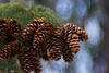 Cones in March (christopherdeacon) Tags: winter tree pine cone sky garden bokeh fujifilmxt1 meyeroptik meyeroptiktrioplan meyeroptiktrioplan100mm dof depthoffield shallowdof
