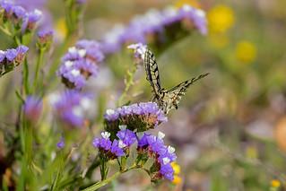 Swallowtail butterfly Cyprus_w_6309