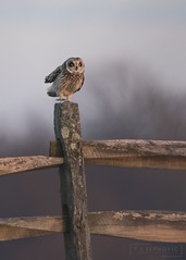 Happy Feet (T L Sepkovic) Tags: shortearedowl owl shorty birdsofprey raptor canon teamcanon 5dmkiv dusk sunset gettysburg battlefield historicplaces audubon wildplanet