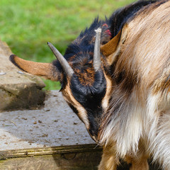 Goat, Mary Arden's Farm, Wilmcote (Dave_A_2007) Tags: animal goat mammal nature wildlife wilmcote warwickshire england